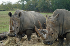Two Rhinoceros Stock Images