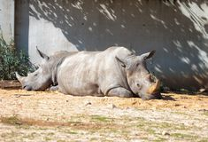 Two Rhinoceros Rhinocerotidae are rest in the sun after eating in Safari park Ramat Gan, Israel. Ramat Gan, Israel - Februar 21, 2018 : Two Rhinoceros Royalty Free Stock Image