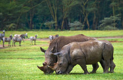 Two rhinoceros in the savanna. National Park. Africa. stock photo