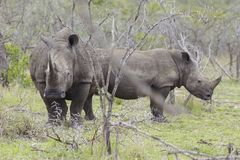 Two Rhinoceros stand in African plains Royalty Free Stock Image