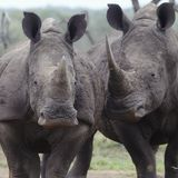 Two rhinoceros walk side by side Royalty Free Stock Photo
