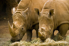 Two rhinoceroses Stock Photos