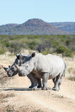 Two rhinoceroses blocking the road on a safari Royalty Free Stock Photography