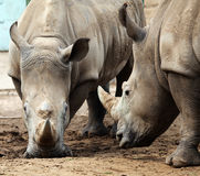 Two rhinoceroses in confrontation. Royalty Free Stock Image