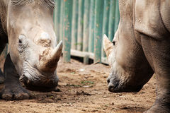 Two rhinoceroses in confrontation. Royalty Free Stock Images