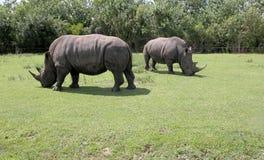 Two rhinocerous Stock Image