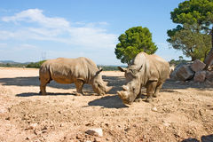 Two Rhinos. Two adult rhinos Stock Photos