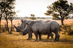Free Two Rhinos Stock Photography - 30813382