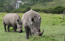 Two Rhinos. Two White Rhinos Grazing Royalty Free Stock Image