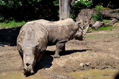 Two rhinos royalty free stock image