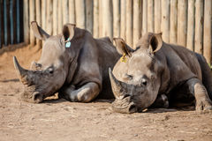 Two Rhinos caged. Rhinos moved to holding pens for protection in South Africa due to the increase in Rhino poaching for rhino horn Stock Photography