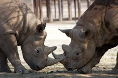 Two rhinos Royalty Free Stock Images