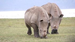 Two rhinos eats grass. Kenya stock video footage