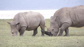 Two rhinos eats grass. Kenya stock footage