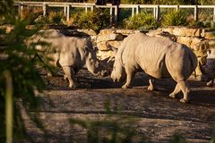 Two rhinos fighting in dust at sundown royalty free stock images