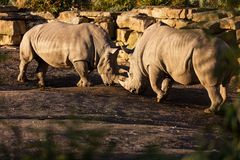 Two rhinos fighting in dust at sundown royalty free stock photos