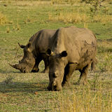 Two rhinos grazing Royalty Free Stock Photos