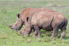 Two rhinos grazing in the Tala Private Game Reserve in South Africa Stock Photo