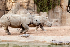 Two rhinos running Stock Image