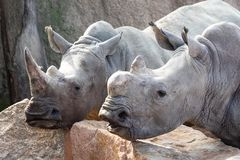 Two Rhinos waiting for food stock photos