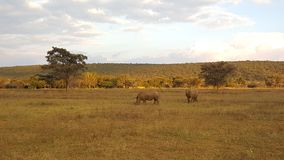 Two rhinos in waterberg game park Royalty Free Stock Image