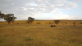 Two rhinos in waterberg game park Royalty Free Stock Photo