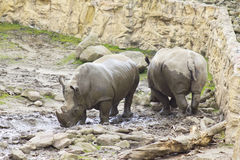 Two Rhinos in the Zoo Stock Image