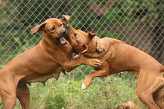 Rhodesian ridgeback bitches. Two Rhodesian ridgeback bitches fighting with each other Royalty Free Stock Photo