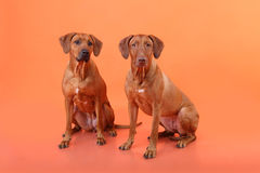 Two Rhodesian Ridgeback dog breed are sitting on a red backgroun Royalty Free Stock Images