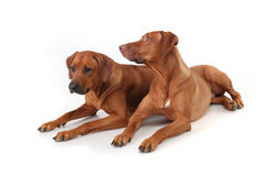 Two Rhodesian Ridgeback dog breed on a white background Royalty Free Stock Photography