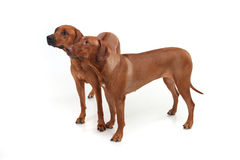 Two Rhodesian Ridgeback dog breed on a white background Royalty Free Stock Photos