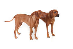 Two Rhodesian Ridgeback dog breed on a white background Stock Image