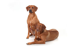 Two Rhodesian Ridgeback dog breed on a white background Royalty Free Stock Image