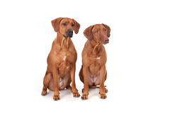 Two Rhodesian Ridgeback dog breed on a white background Stock Images