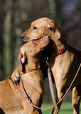 Two dog friends. Two rhodesian ridgeback dog friends Stock Photography