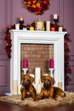 Two Rhodesian Ridgeback puppies in front of stylized  fireplace. Two Rhodesian Ridgeback puppies lying on a furry carpet in front of stylized candle fireplace Royalty Free Stock Image