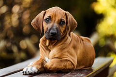 Two Rhodesian Ridgeback puppies lying on the grass. Looking at the camera Royalty Free Stock Images