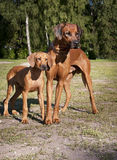 Two rhodesian ridgebacks Royalty Free Stock Photography