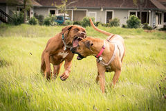 Two Rhodesian Ridgebacks playing. royalty free stock photos