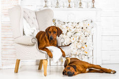 Two Rhodesian Ridgebacks resting in front of stylized  fireplace. Two Rhodesian Ridgebacks have a rest in front of stylized fireplace Royalty Free Stock Photography