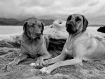 Two happy dogs holdings hands on beach in black and white picture for Valentine& x27;s day royalty free stock image