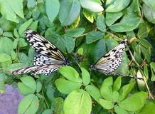 Two rice paper butterflies facing each other Stock Photography