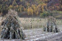 Two Ricks of hay Royalty Free Stock Photo