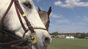 Two riding horses interacting. Two young polo ponies interact before the beginning of the polo games stock video footage