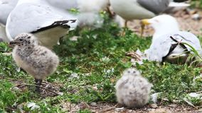 Two Ring-billed Gull chicks with adults stock video footage