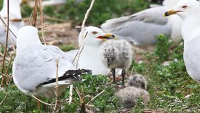 Two Ring-billed Gull young with adults stock video