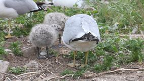 Two Ring-billed Gull young with parent. Two Ring-billed Gull young with a parent stock footage