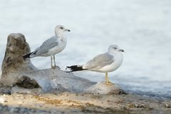 Two Ring-billed Gulls perched on a piece of driftwood Stock Images