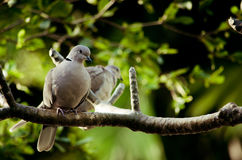 Two Ring-necked Dove enjoying the sun Stock Images
