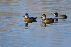 Two Ring-Necked Ducks Swimming in the Still Pond Waters Stock Images